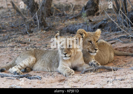 African lions (Panthera leo), two cubs lying on sand, Kgalagadi Transfrontier Park, Northern Cape, South Africa - Stock Photo