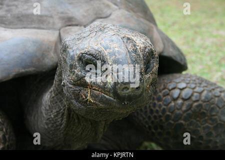 Aldabra giant tortoise (Aldabrachelys gigantea), Curieuse Island, Seychelles. - Stock Photo