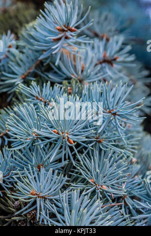 Branches of Christmas tree, closeup. Spiky leaves of pine tree detail, macro. - Stock Photo