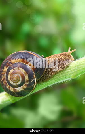 Common snail crawling on plant in garden - Stock Photo