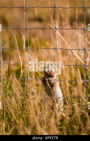 Arctic Ground Squirrel (Spermophilus parryii) behind a fence in a field looking through the grid to the other side; - Stock Photo