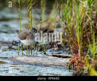 Spotted Sandpiper (Actitis macularia) walking on a log in the water along the shore of a lake; Redbridge, Ontario, Canada