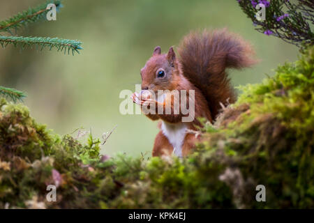 Red Squirrel (Sciurus vulgaris) eating a nut from it's hands while standing on a moss covered rock; Dumfries and - Stock Photo