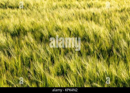 Unripe green barley (Hordeum vulgare) in a field, East of Calgary; Alberta, Canada - Stock Photo