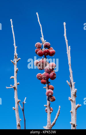 Purple Spire Columnar Crab Apples on a branch covered in hoar frost against a blue sky; Stony Plain, Alberta, Canada - Stock Photo