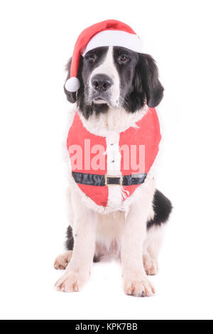 landseer dog christmas santa white puppy xmas - Stock Photo