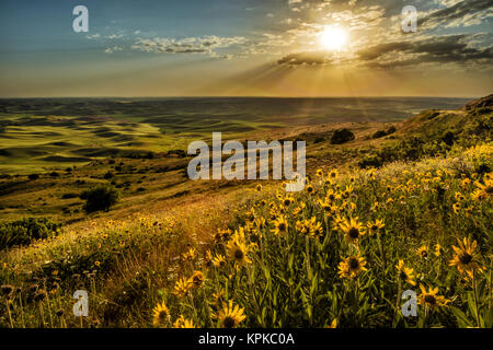 Elevated view of wildflowers and rolling fields of wheat at sunset, Steptoe Butte, Palouse region of Eastern Washington. - Stock Photo