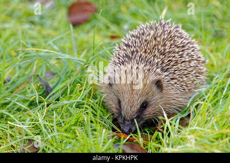 Eure et loir, France. 6th Dec, 2017. Close-up of a hedgehog (Erinaceus europaeus) walking through the grass in Eure - Stock Photo