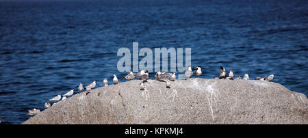 Swift Terns and Sandwich Terns gather on a rock at Boulders Beach, Cape Town, South Africa. - Stock Photo