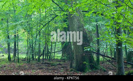 big old oaks after rain - Stock Photo