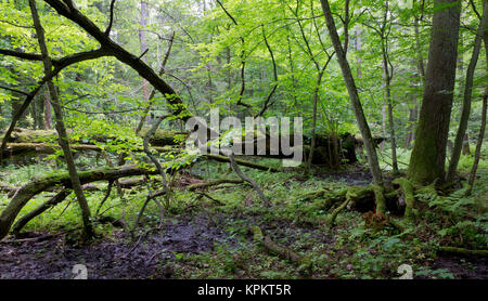old oak tree broken lying in spring forest - Stock Photo