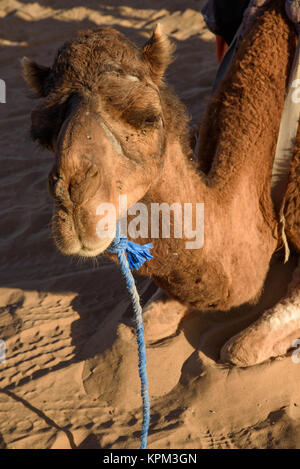 Old camel working on desert caravans. - Stock Photo