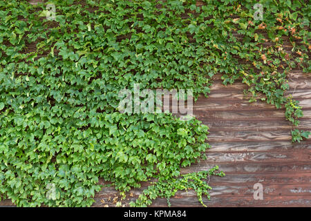 Old brick wall covered in ivy - Stock Photo