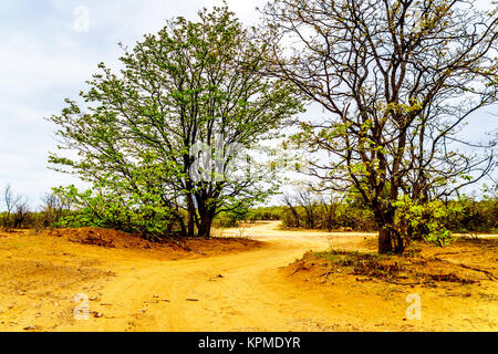 Winding Dirt road through Kruger National Park in South Africa - Stock Photo