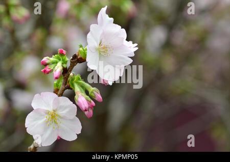 Sakura, the famouse flower of Japan - Stock Photo