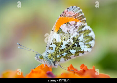 Male orange-tip butterfly resting on Erysimum 'apricot delight' -  Anthocharis cardamines - Stock Photo
