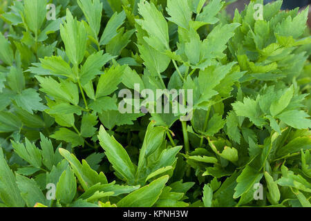 green lovage - Stock Photo