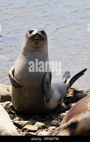 Baby Elephant Seal - Stock Photo