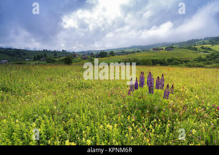 lupine flowers bush on spring meadow in mountains - Stock Photo