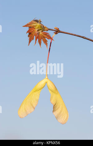 Silver Maple (Acer saccharinum) seeds and new leaves in spring.  The seeds of maples are also known as keys or samaras. - Stock Photo