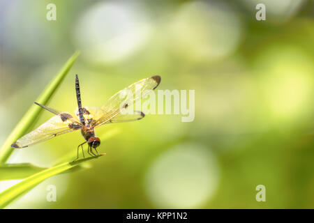 Dragonfly sitting on green grass - Stock Photo