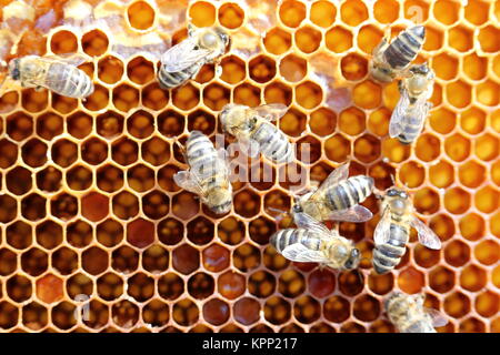 a few honey bees on a honeycomb - Stock Photo