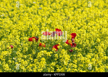 Red poppies in the field of yellow lentils flowers, Castelluccio di Norcia, Pian Grande, Sibillini Mountains National - Stock Photo