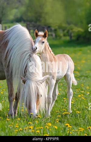 A little Haflinger foal smooches with its mother, nibbling at her mane. The blond flaxen chestnut horse breed also - Stock Photo