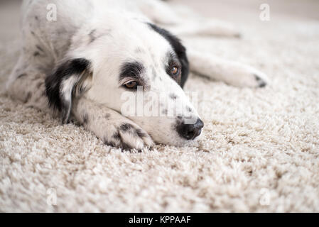 black and white dog portrait lying on a carpet - Stock Photo