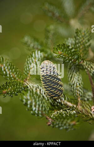 Nordmann Fir Cone - Stock Photo