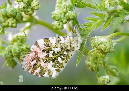Male orange-tip butterfly resting on Cow Parsley flowers - Stock Photo