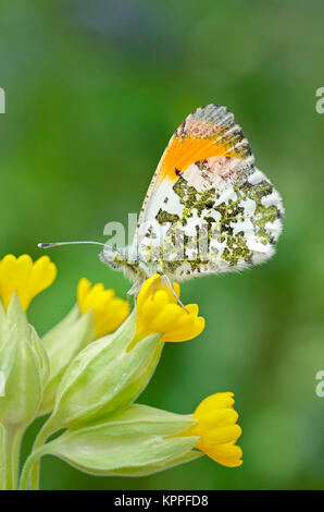 Male orange-tip butterfly resting on Cowslip flowers - Stock Photo