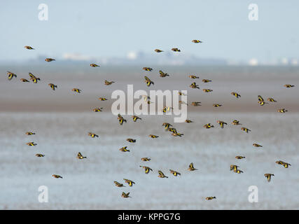 A flock or Charm of Goldfinches, Carduelis carduelis, in Winter, flying over Morecambe Bay, Lancashire, UK - Stock Photo