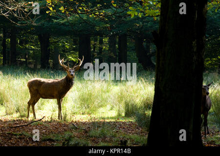 Europe, Germany, Sauerland region, Arnsberg, stag (Cervus elaphus) at the wildlife park Vosswinkel.  Europa, Deutschland, - Stock Photo