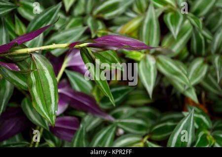Lush green Wandering Jew plant - Stock Photo