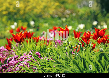 lily-flowered tulip tulipa queen of sheba - Stock Photo