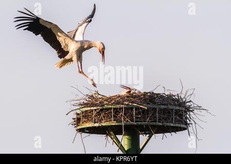 Weißstörche beim Nestbau und der Nestpflege - Stock Photo