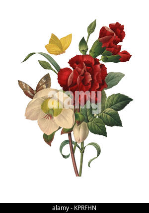 19th-century illustration of a Hellebore. Engraving by Pierre-Joseph Redoute. Published in Choix Des Plus Belles - Stock Photo