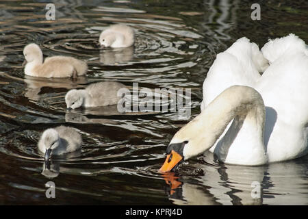 Mother Mute Swan teaching her young babies how to skim water surface with their beaks in search of food - Stock Photo