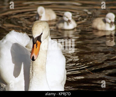 Beautiful Mute Swan with her young babies following close behind - Stock Photo