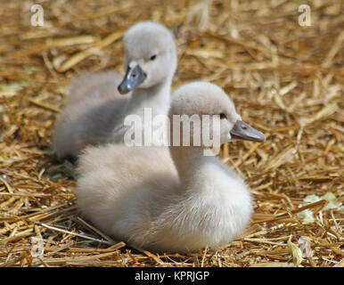 Mute Swan siblings resting on a nest of straw.  Less than one week old - Stock Photo
