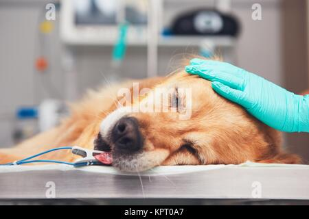 Dog in the animal hospital. Golden retriever lying on the operating room before surgery. - Stock Photo