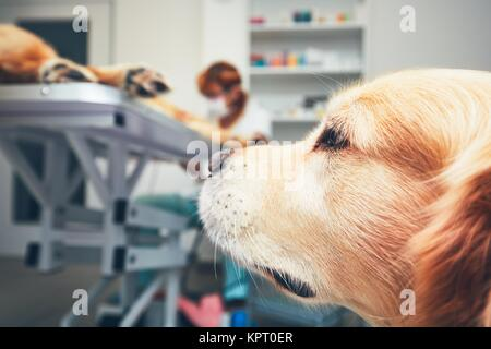 Two brothers of the golden retriever in the animal hospital. Veterinarian preparing the dog for surgery. Thames - Stock Photo