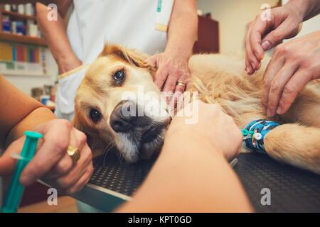 Golden retriever in the animal hospital. Veterinarians preparing the dog for surgery. - Stock Photo