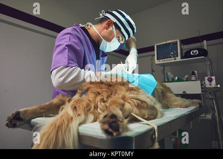 Dog in the animal hospital. Veterinarian during surgery of the golden retriever. - Stock Photo