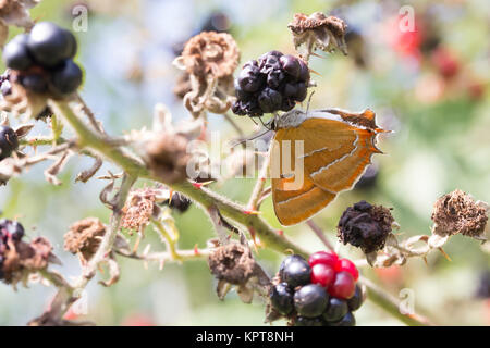 Brown hairstreak (Thecla betulae) female nectaring on blackberries. Surrey, UK. - Stock Photo