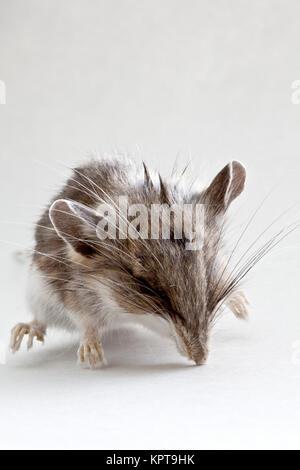 Immature  dead field mouse 'Peromyscus californicus'. - Stock Photo