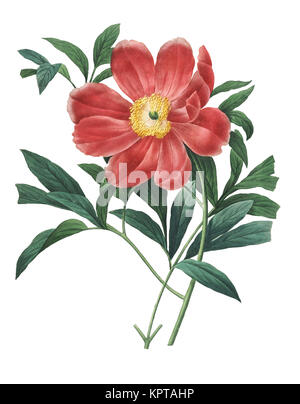 19th-century illustration of a Paeonia officinalis, also known as European peony or common peony. Engraving by Pierre-Joseph Redoute. Published in Cho