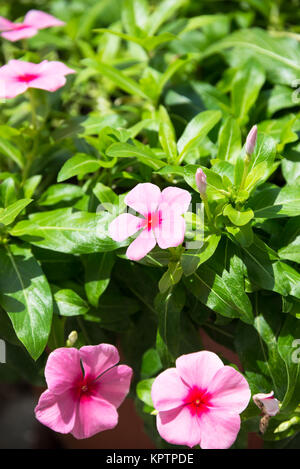Periwinkle flowers and buds close up - Stock Photo