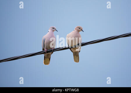 Collared Doves, Streptopelia decaocto, together perched on an electricity wire. Collared Doves birds in love as - Stock Photo